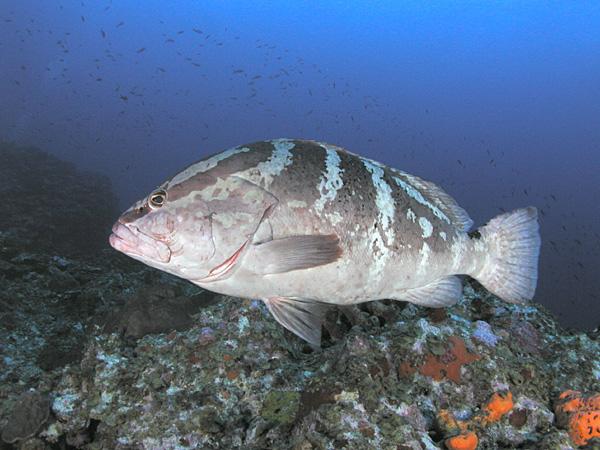 Belize s nassau grouper fptravels 39 s blog for Grouper fish facts